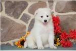 Picture of Bingo MZ AKC Breathtakenly Samoyed Pup Healthy