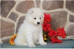 Picture of Tristan MZ AKC breathtakenly Beautiful Samoyed Pup