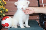 Picture of Lucy MZ Beautiful AKC Samoyed Puppy Rdy 08/18