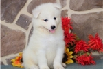 Picture of Trevor MZ AKC Breathtakenly Beautiful Samoyed Pup