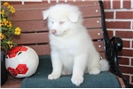 Picture of Scooter MZ Beautiful AKC Samoyed Puppy Rdy 08/18
