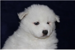Picture of Kodiak  MZ So Perfectly Beautiful Samoyd Puppy AKC