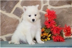 Picture of Teddy MZ AKC Breathtakingly Beautiful Samoyed Pup