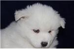 Picture of Kodiak  MZ So Perfectly Beautiful Samoyd Puppy AKC