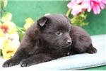 Picture of Leah  BL  Cute Schipperke Pup Rdy 6/22