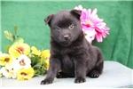Picture of Levi BL  Cute Schipperke Pup Rdy 6/22