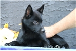 Picture of Leah  BL  Cute Schipperke Pup Rdy 6/22