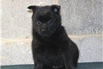 Picture of Lucky Charm  BL  Schipperke Baby  Puppy