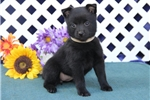 Picture of Bethany BL Black Female Schipperke Puppy