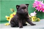 Picture of Lecia BL  Cute Schipperke Pup Rdy 6/22