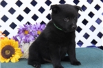 Picture of Thunder  BL Black Male Schipperke Puppy