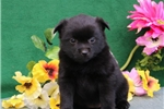 Picture of Lasha  BL  Cute Schipperke Pup Rdy 6/22
