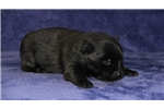 Picture of Fruit Loop   BL  Schipperke Baby  Puppy