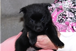 Picture of Honey Nut    BL  Schipperke Baby