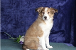 Picture of Wendell  IM Healthy  Sheltie Pup For You On 5/23 !