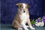 Picture of Wally  IM Healthy  Sheltie Pup For You On 5/23 !