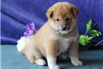 Simba  MH  Healthy Shiba Inu  Puppy Rdy 7/15 | Puppy at 5 weeks of age for sale