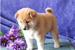 Wendy   MH  Healthy Shiba Inu  Puppy Rdy 7/15 | Puppy at 5 weeks of age for sale