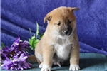 Biff   MH  Healthy Shiba Inu  Puppy Rdy 7/15 | Puppy at 5 weeks of age for sale