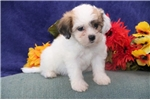 Picture of SweetHeart  DZ Designer Teddy Bear Shichon Puppy
