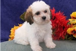 Picture of Cotton Candy DZ Designer Teddy Bear Shichon Puppy