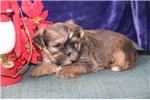 Picture of Handel  CF  Christmas Puppy  Shorkie RDY 12/12