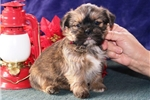 Picture of Carter   CF  Christmas Puppy  Shorkie RDY 12/12