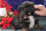 Picture of Andre`   CF  Christmas Puppy  Shorkie