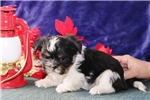 Picture of Andrew   CF  Christmas Puppy  Shorkie
