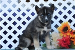 Picture of Ray EE  Agouti Blue Eyed Siberian Husky Puppy