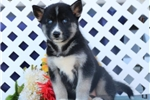 Picture of Royal EE Royal Blue Eyed Siberian Husky Puppy