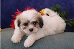 Picture of Peaches DZ  Teddy Bear Shichon Puppy