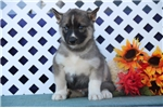 Picture of Randy EE Agouti Blue Eyed Siberian Husky Puppy