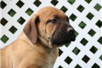 Peter BS Healthy Exotic Boerboel Puppy Rdy 6/13 | Puppy at 10 weeks of age for sale