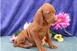 Picture of Sylvester SS  Royal,Elite Looking Vizsla Puppy