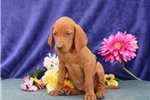 Picture of Sparky  SS  Royal,Elite Looking Vizsla Puppy