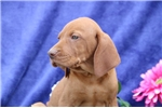 Picture of Sporty SSRoyal,Elite Looking Vizsla Puppy Rdy 6/19