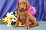 Picture of Stewart  SS  Royal,Elite Looking Vizsla Puppy