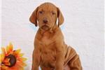 Picture of Flint SS Golden Rust Hungarian Hunter Puppy