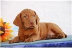 Picture of Colt SS Hungarian Hunter Golden Rust Vizsla Pup