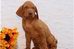 Picture of Gunner SS Golden Rust Hungarian Hunter Vizsla Pup