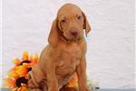 Picture of Winston SS Golden Rust Hungarian Hunter Vizsla Pup