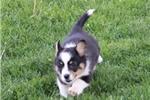 Picture of Jenny     JH  Classy Welsh Corgi  Puppy Rdy 5/27