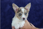 Picture of Berry   DS   Classy Welsh Corgi Puppy Rdy Now