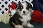 Picture of Rosey CM  Cute & Healthy Pembroke Welsh Corgi