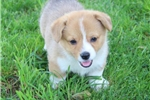 Picture of Sweetie JH  Classy Welsh Corgi  Puppy Rdy 5/27