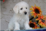 Picture of Ashley EE Healthy Hypoallergenic Westiepoo Puppy