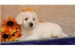 Picture of Avalanche EE Healthy Hypoallergenic Westiepoo Pup