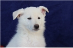 Picture of a White Shepherd Puppy