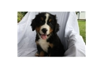 Picture of a Bernese Mountain Dog Puppy